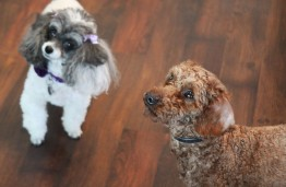 Elena Lindemann's dog, Lily (left), and foster dog Sung stand at attention for a treat. Hannah Black / RiverTown Multimedia